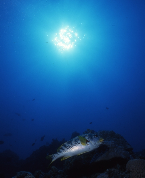 Oblique-banded sweetlip & sun-Great Barrier Reef
