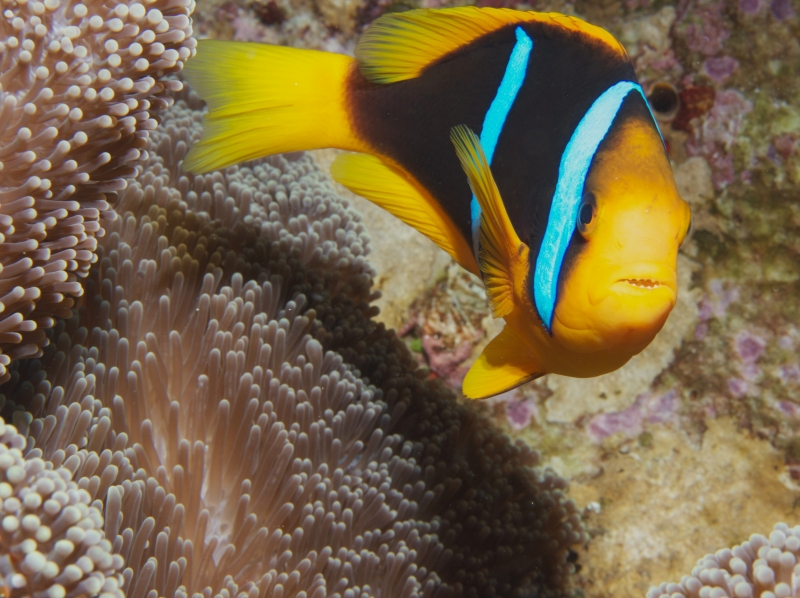 Orange-fin anemonefish (dig)-Bligh Waters, Fiji
