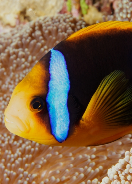Orange-fin anemonefish over Gigantic sea anemone (dig)-Fiji