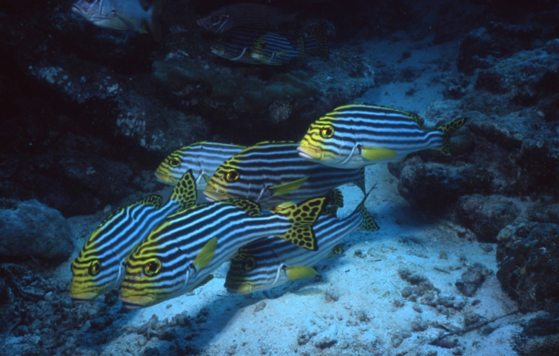 Oriental sweetlips-Maldives
