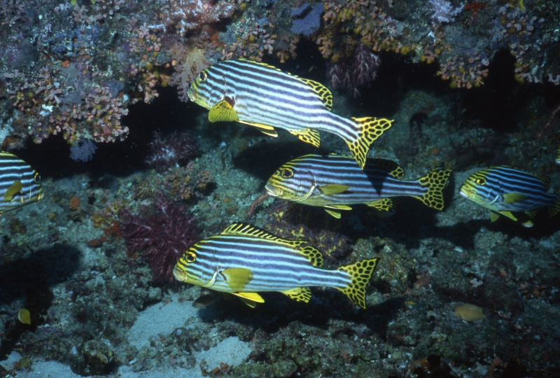 Oriental sweetlips by coral-Maldives