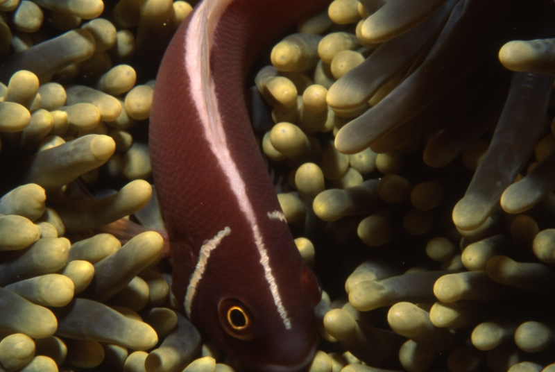 Pink anemonefish-Manado, Indonesia