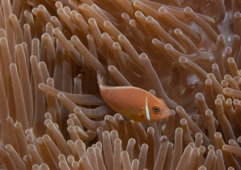 Pink anemonefish in Gigantic sea anemone (dig)-Fiji