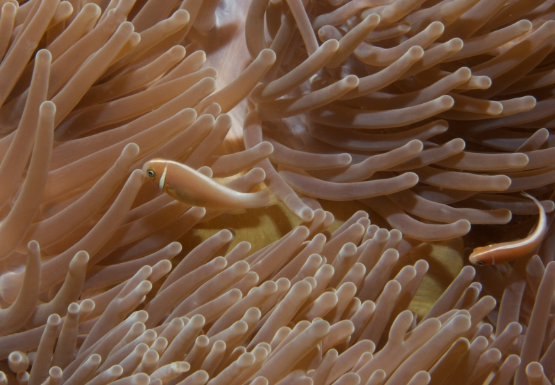 Pink anemonefishes in Gigantic sea anemone (dig)-Fiji