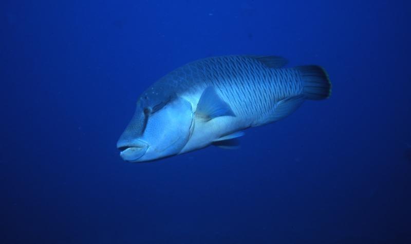 Queensland grouper-Yongala Wreck, Australia
