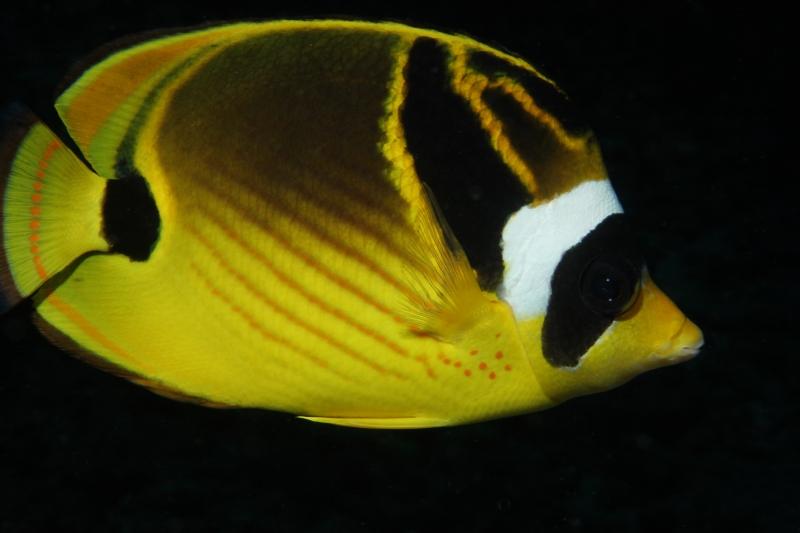 Racoon butterflyfish (dig)-Kona, Hawaii