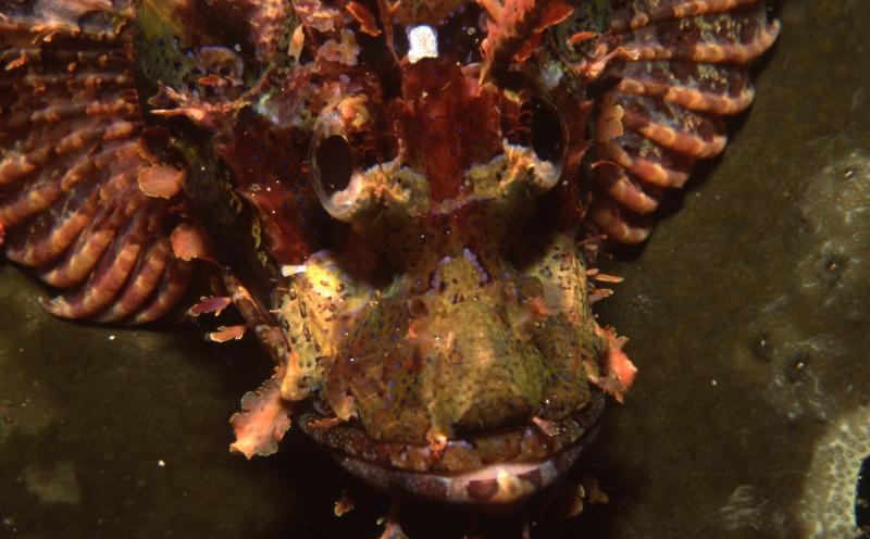 Raggy scorpionfish-Bunaken, Indonesia