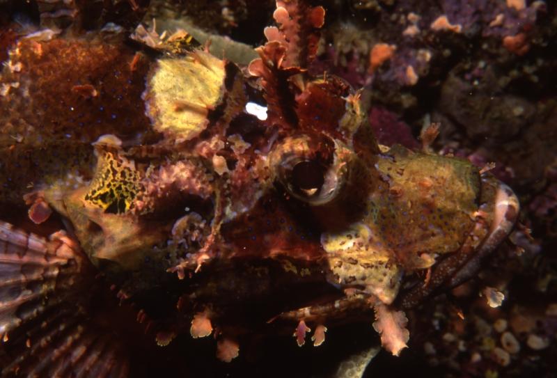 Raggy scorpionfish-Manado, Indonesia
