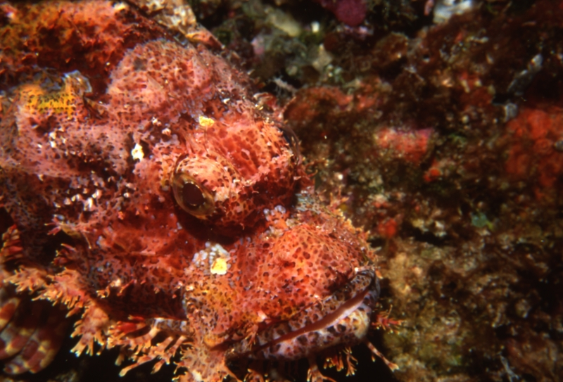Raggy scorpionfish blending in-Maldives
