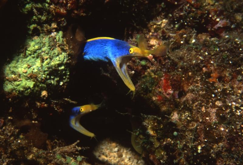 Ribbon eels-Beqa Lagoon, Fiji