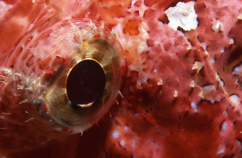 Scorpionfish eye-Maldives