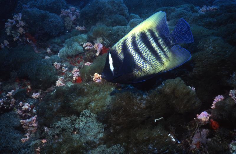 Sixband angelfish-Yongala wreck, Australia
