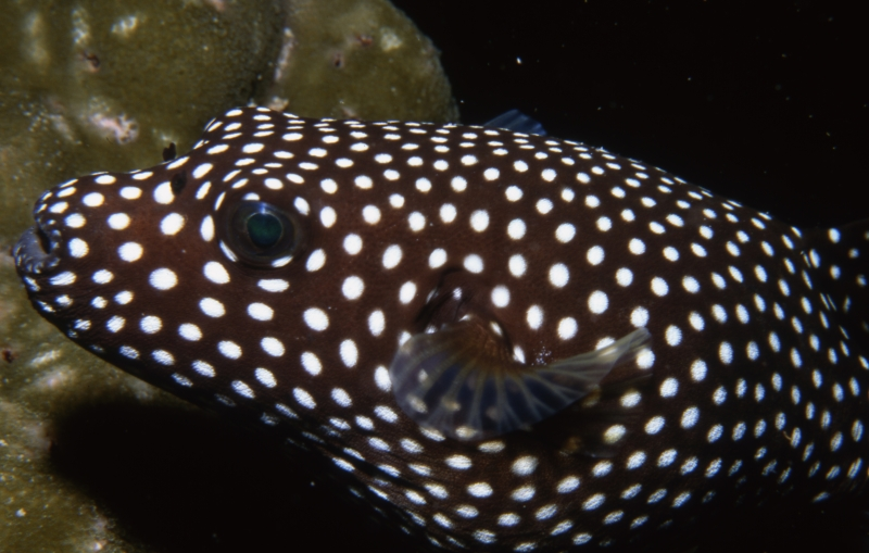 Spotted puffer-Cocos Island