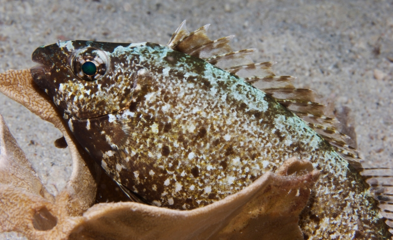 Threadfin hawkfish (dig)-Fiji