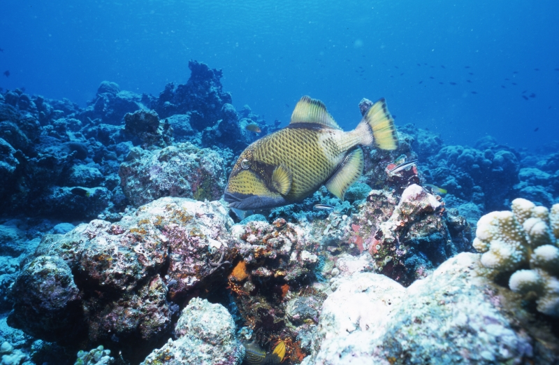 Titan triggerfish-Maldives