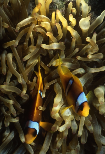 Twoband anemonefishes-Egypt