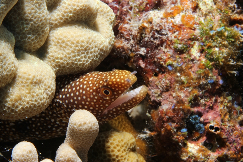 Whitemouth moray (dig)-Hawaii