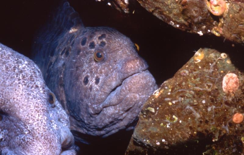 Wolf eels-Vancouver Island