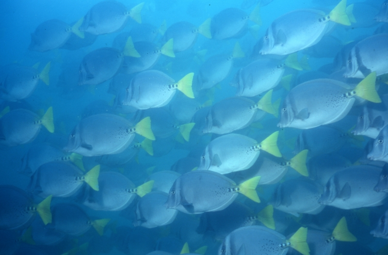 Yellow-tailed surgeonfish school-Galapagos Islands