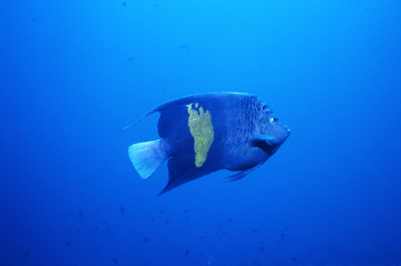 Yellowbar angelfish-Red Sea