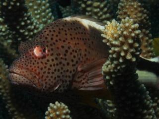 Blackside hawkfish (dig)-Kona, Hawaii