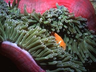 Maldive's anemonefish-Ari Atoll, Maldives