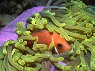Maldive's anemonefish