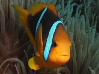 Orange-fin anemonefish (dig)-Fiji