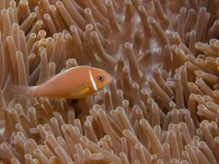 Pink anemonefish (dig)-Fiji