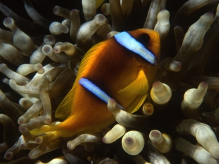 Twoband anemonefish-Red Sea