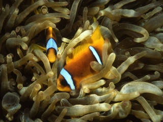Twoband anemonefishes-Red Sea