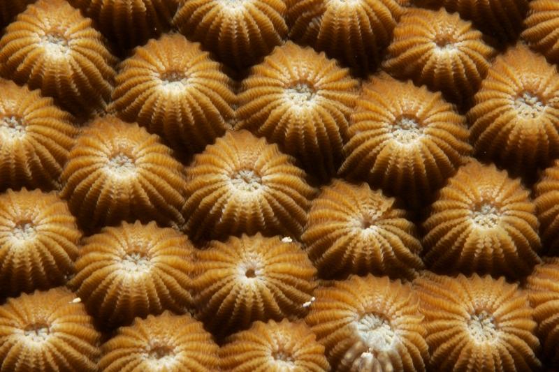 Boulder coral tentacles retracted (dig)-Fiji
