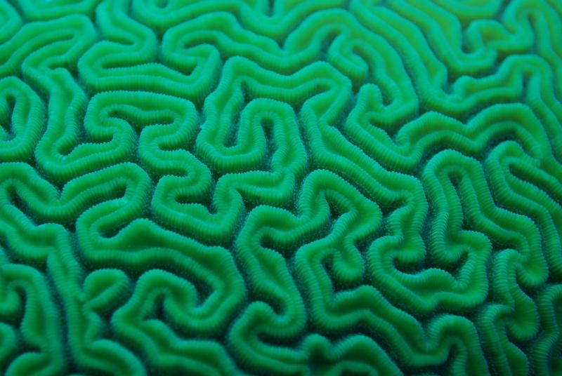 Brain coral (dig)-Belize