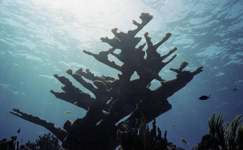 Elkhorn Coral-Grand Cayman Island