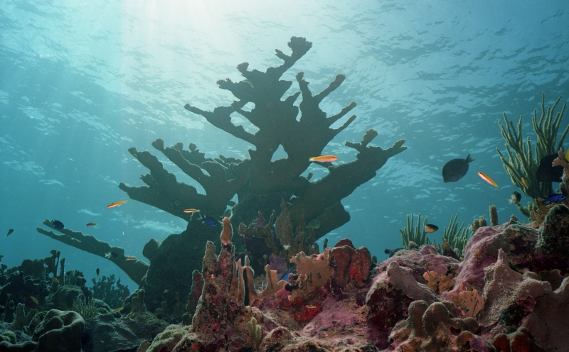 Elkhorn Coral-Grand Cayman