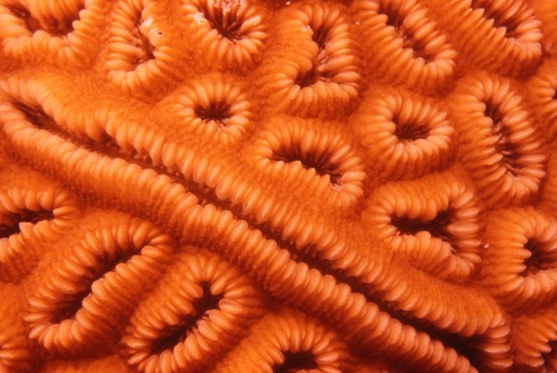 Elliptical star coral-Belize