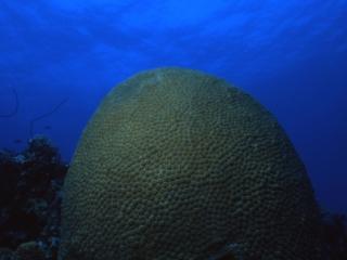 Boulder Star coral-Exumas