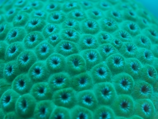Boulder coral (dig)-Belize