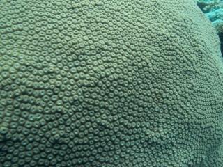 Boulder coral (dig)-Fiji