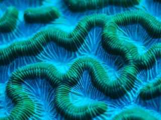 Brain coral (dig)-Lighthouse Reef, Belize
