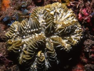 Cactus coral-Saba