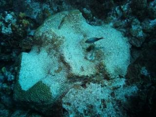Dead brain coral (dig)-Grand Turk