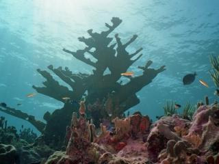 Elkhorn Coral-Grand Cayman