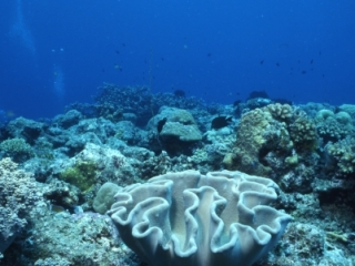 Hard corals-Kavieng, Papua New Guinea