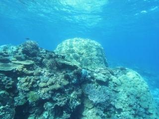 Hard corals (dig)-Fiji
