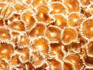 Pavement coral tentacles extended (dig)-Fiji