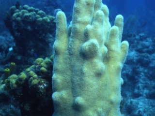 Pillar coral growing on dead coral-Belize