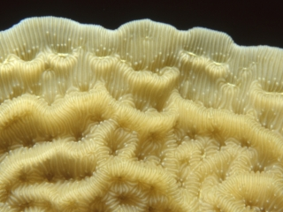 Tan lettuce leaf coral-New Providence Island