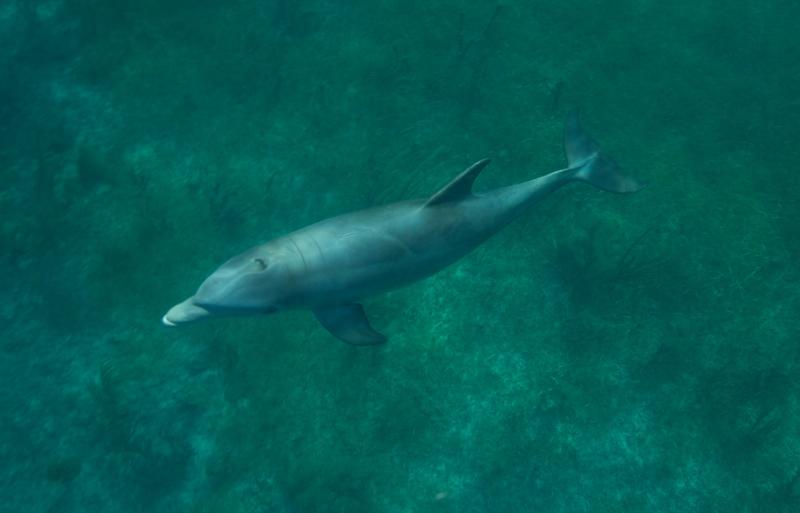Bottlenose dolphin 2 (dig)-Grand Bahama Island