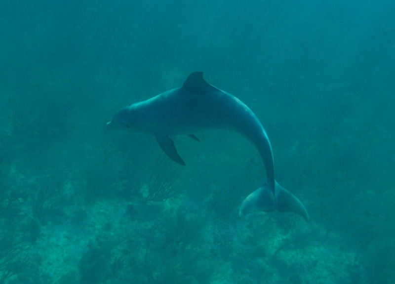 Bottlenose dolphin 3 (dig)-Grand Bahama Island